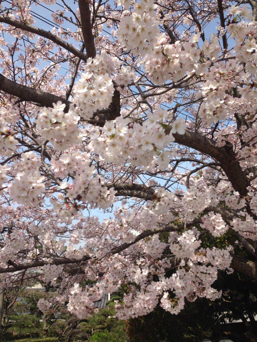 桜のお裾分け。 https://t.co/mzA1M35fKU