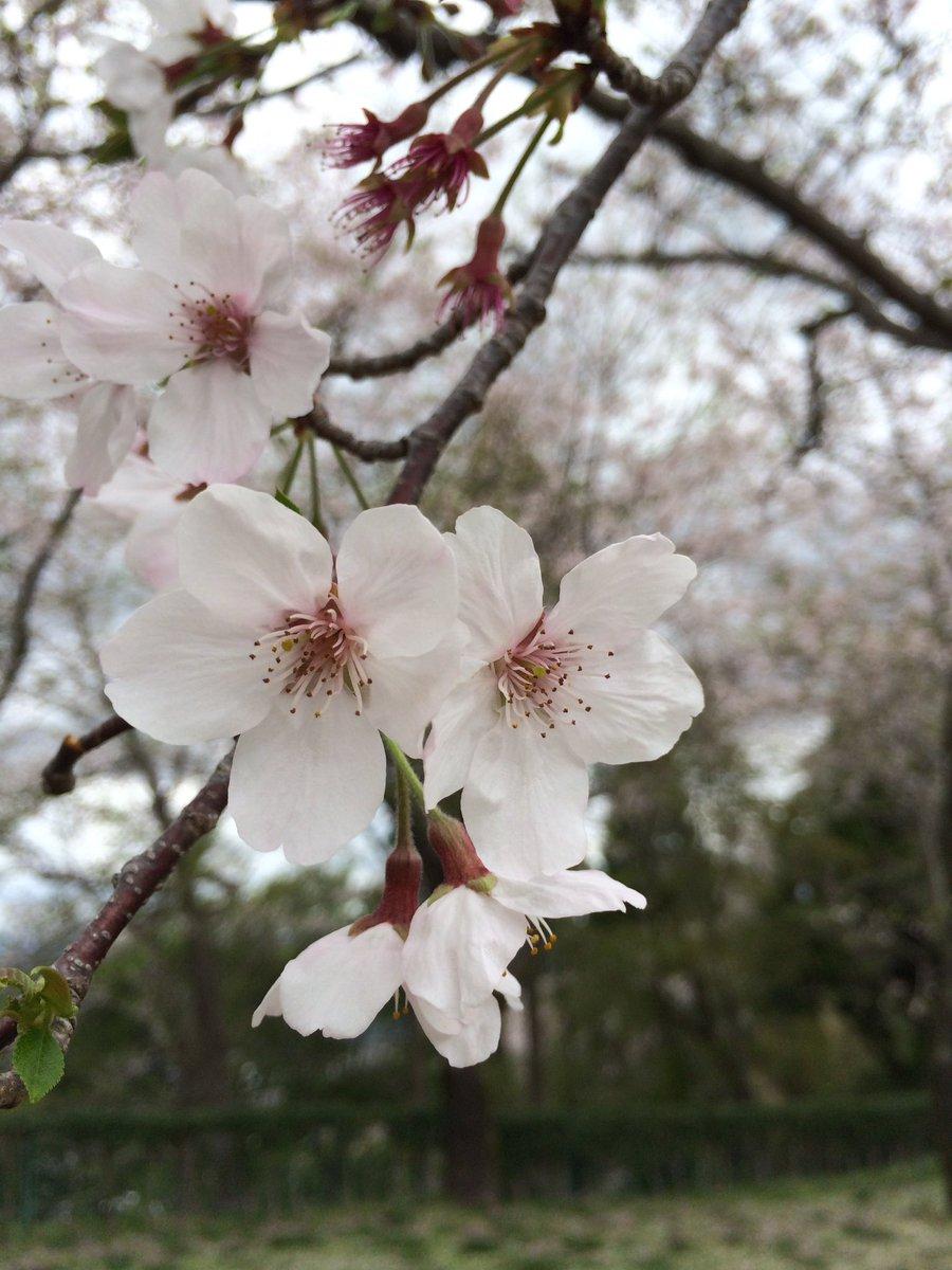 この週末は鹿児島でも桜が満開になりました( ´ ▽ ` )ノ やっぱり桜はキレイで、豪勢だけど儚くて、春が来たんだなと思わせてくれて、好きな花です。 今夜からの雨で散り始めるかな、少しでも長く見たいですね。 https://t.co/mxrFkFHafD