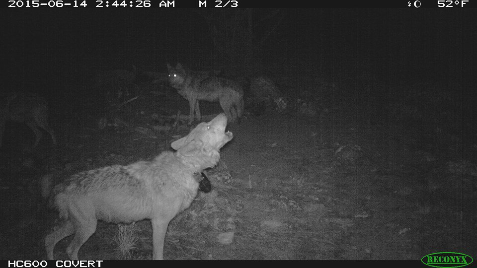 #LoboWeek AF1251, breeding female, Prieto pack, howling in front of a trail camera in Gila National Forest, NM https://t.co/P8f27lZB71