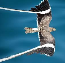 調べ物してたら南アフリカ北部に生息するペナント翼?(pennant-winged)という羽が印象的なカッコいいヨタカを見つけて一人テンション上がってる。日本のヨタカとは違うのね||| https://t.co/kASwmy3qK3 https://t.co/eTBLsXnhIV