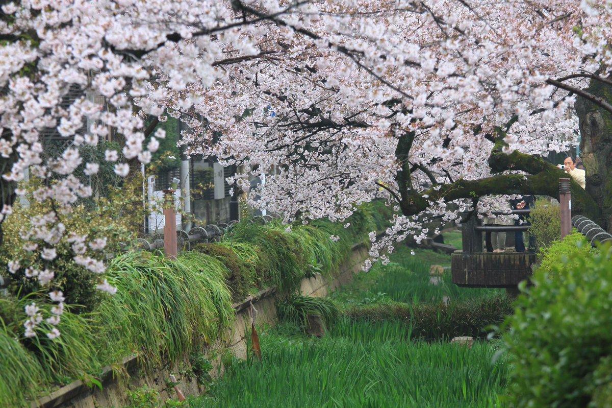 世田谷区深沢を流れる呑川沿いの桜並木も満開だね。#桜 #深沢 https://t.co/gzTDxczmi3