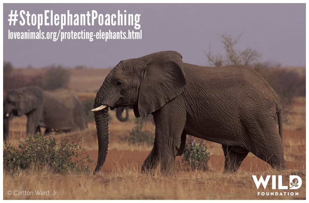 We have a long way to go, but there's still time to protect Mali's desert #elephants! https://t.co/04Kn1lHjAt https://t.co/2oNTUaUMhL