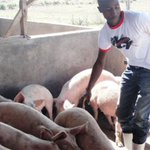 Pig hearts may save human lives: researchers