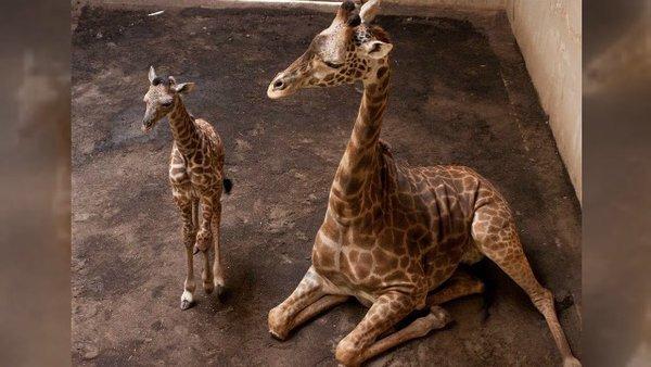 New baby giraffe at the Santa Barbara Zoo https://t.co/LOJpFQ9xeL