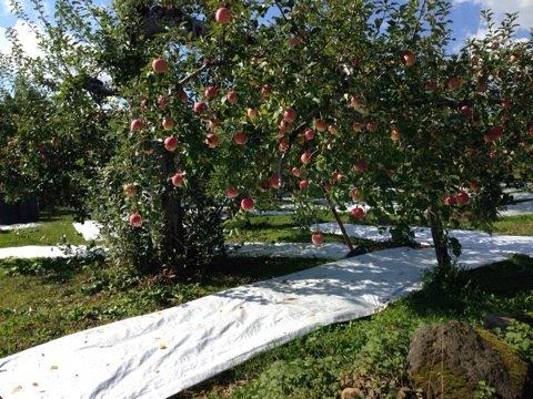 りんご農家のおじさんが激おこなので、みんなで広めましょう…笑  過去記事『青森のりんご農家の毒舌おじさんが教えてくれた、美味しいりんごの見分け方』#ねこぜの東京青森 https://t.co/5SPci5dSR5 https://t.co/af9t7BHnmA