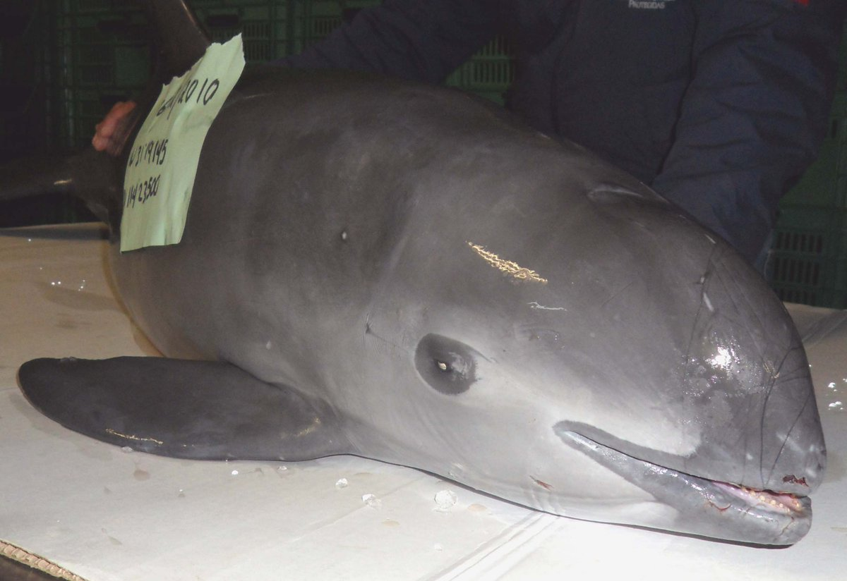 #Mexico - The #vaquita could go extinct this year as #totoaba poaching continues to increase https://t.co/ZGlTohCCCy https://t.co/g0l1i0A6lP