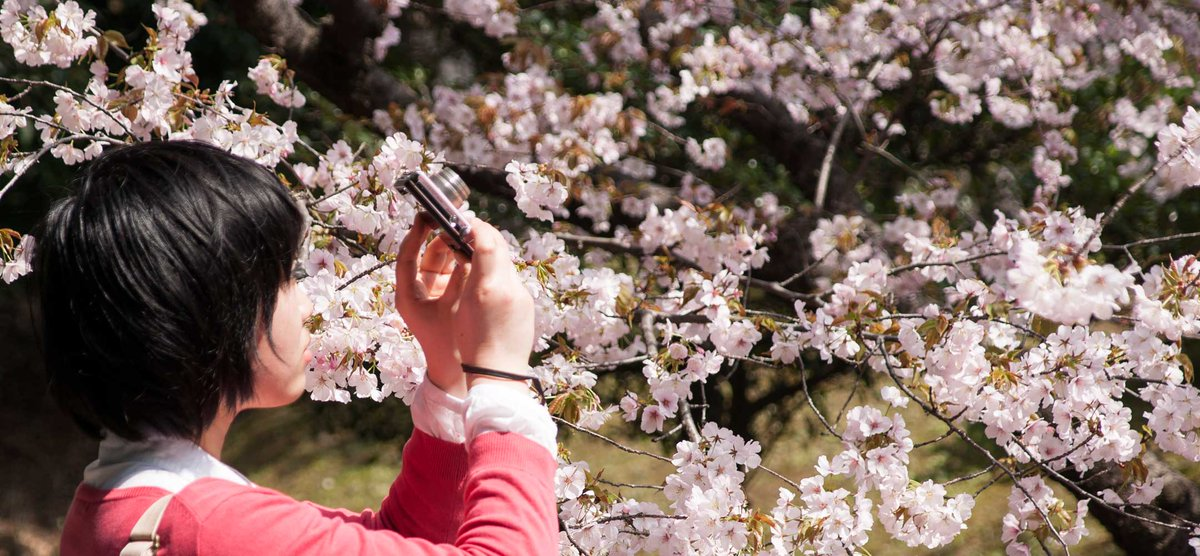 Spring is coming and that means sakura - check out IJT's cherry blossom guide! #さくら #Japan https://t.co/VONj4SWMnx https://t.co/3NKoFxc7hN