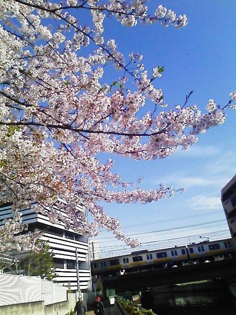 おはふなー( ´ ▽ ` )ノやっと青空と桜が見られたふなー(≧∇≦)  #funabashi #海老川の桜 https://t.co/aaQekoottf