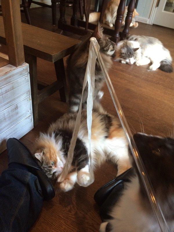 浮気を……してしまいました……  ノルウェージャンフォレストキャット専門の猫カフェぇええぇああああ最高やああああ。  みんなモッフモフ!みんな人懐っこい!  天国!! https://t.co/HDlJrjMZTq