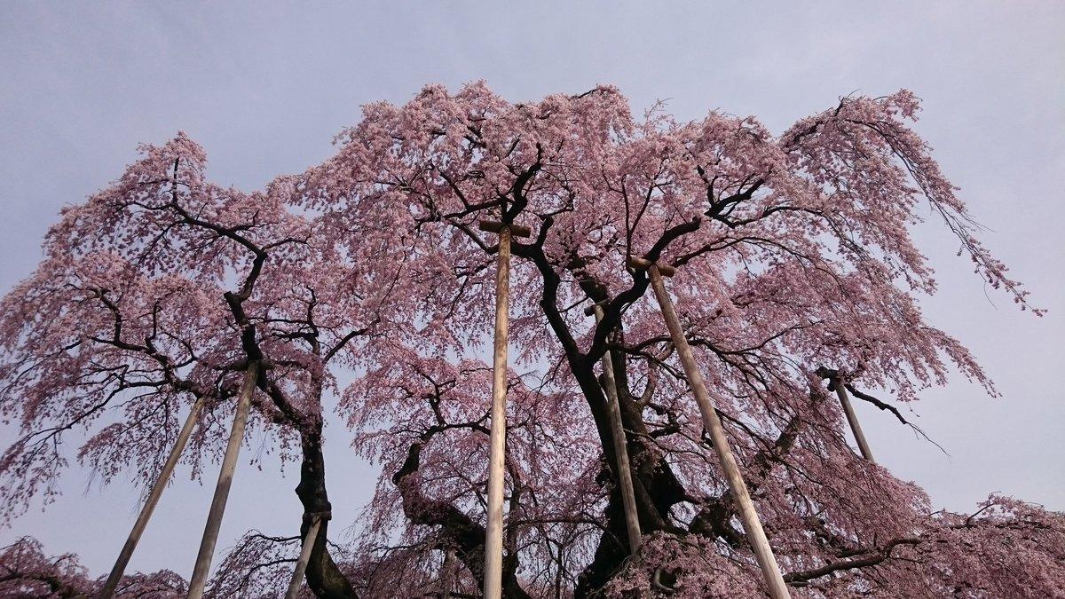 来週までもつかな?心配。RT @Seitaka18: 三春滝桜、やっぱり凄い❗  #全開朝撮 https://t.co/Lt0ACPhbPb