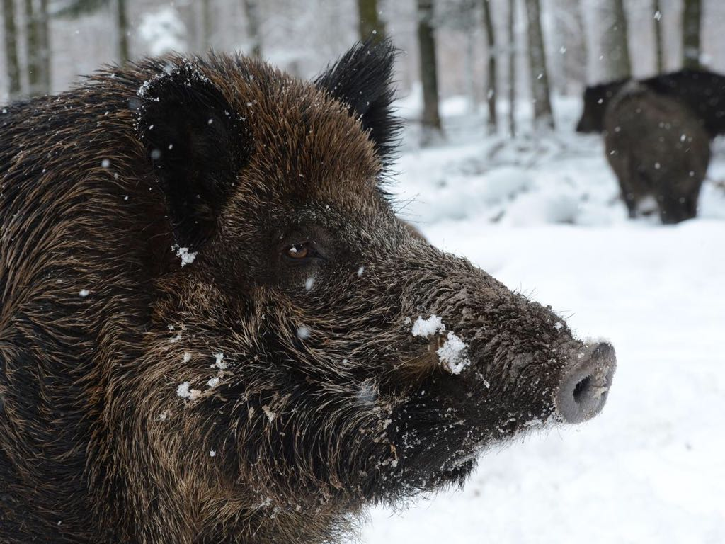 Radioactive wild boars are rampaging around the Fukushima nuclear site https://t.co/8ydLdomng2 #SNARF #SNORT https://t.co/AVmpPCHVpn