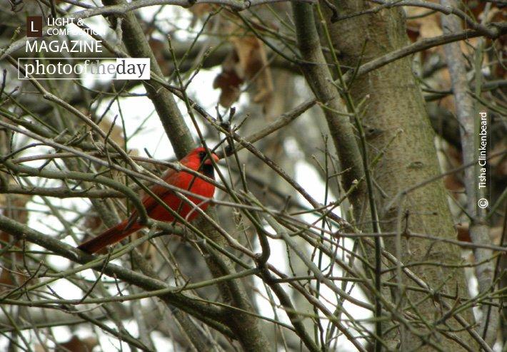 Male Cardinal, by Tisha Clinkenbeard - https://t.co/PCRpGLJQXq - #Arkansas #Gentry #TishaClinkenbeard https://t.co/gcTRTwP0fv