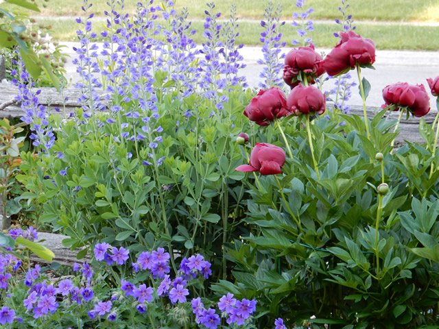 Blue Monday? This should cheer you up ->https://t.co/Yl9aC3CnEj #FGgpod #gardening #blue https://t.co/y80o2mRjhQ