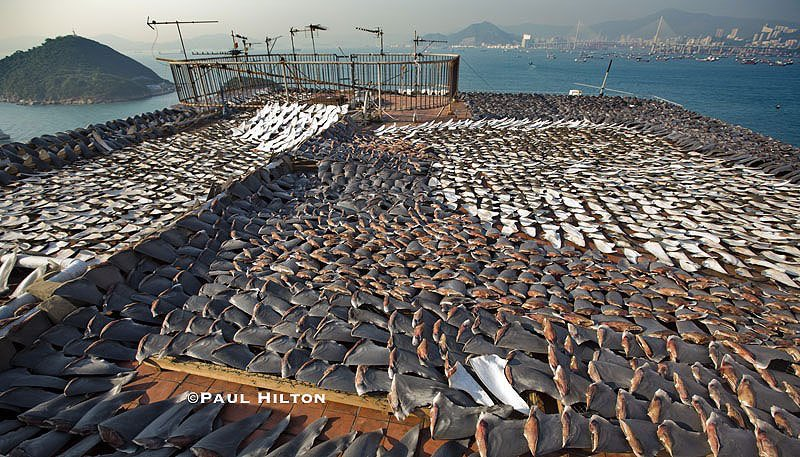 RT @RacingXtinction: Up to 100 million #sharks are killed each year. 75% end up in soup.   Let's stop this >> https://t.co/RbYSIZ1ugZ https…