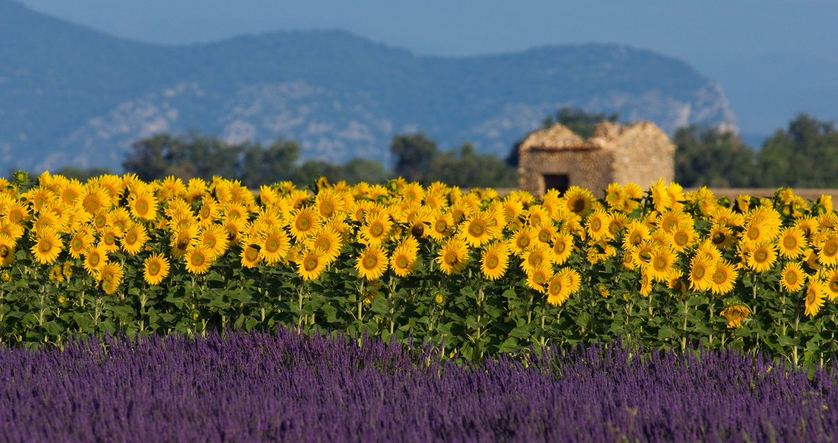 Pic of the day - Sunflowers and lavender decorate a field near Valensole © Dreamstime #France #TravelTuesday https://t.co/M5X7cI8Yy2