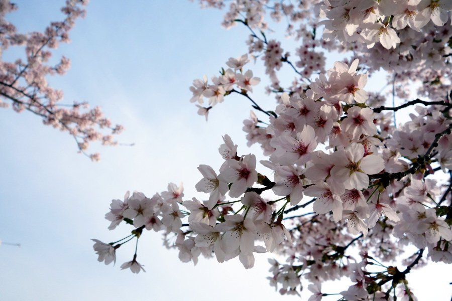 It's spring in South Korea! @travel3Sixty went to Busan in search of lovely cherry blossoms