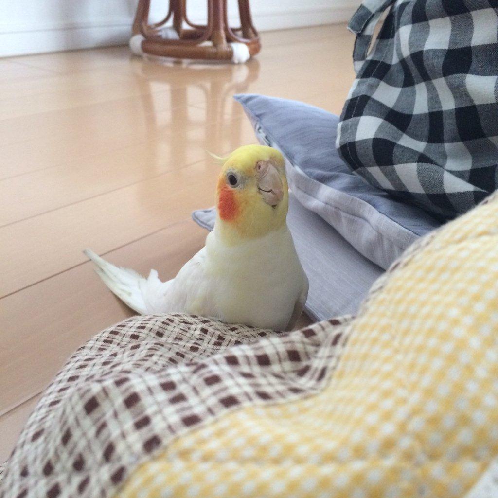 コタツインコ。 #こんな時だからこそ俺の鳥を見て和んでくれ https://t.co/JdJWzRpNg8