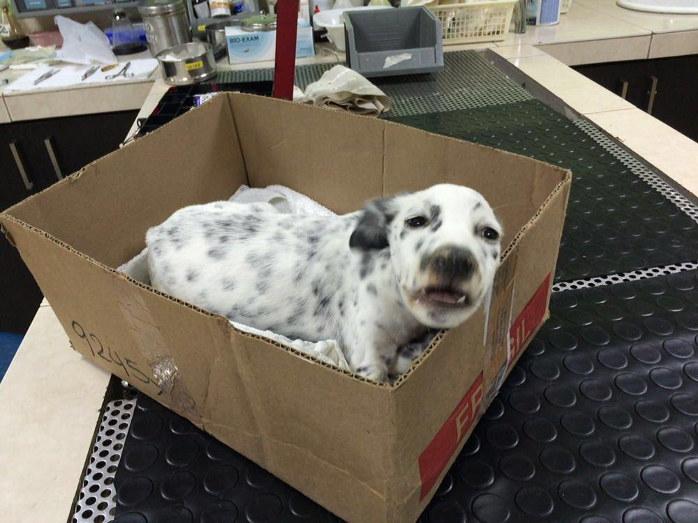 Vino de emergencia de Portoviejo,necesita transfusión,busamos perro donador, de mas de 25kg,de 2 a 6 años, sano. https://t.co/MAphia5VSp