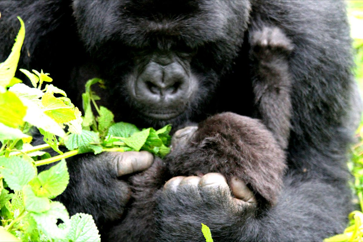 RT @LC4A: Endangered mountain gorillas need you. Please visit https://t.co/C4yUHgOnUO to help https://t.co/dfFhmkUoZ5
