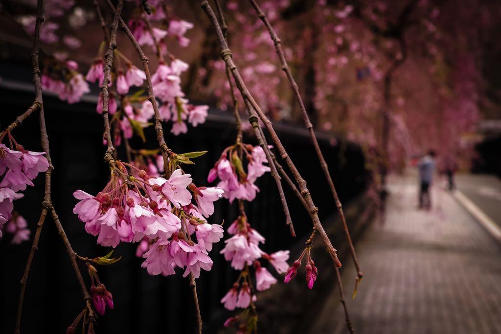 開花 #kakunodate #semboku #akita https://t.co/Aqonbgxdu2