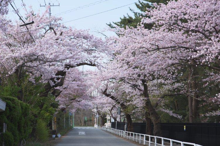「桜の坂道」 今朝の秋田市高清水公園 #akita https://t.co/pFILxmQFfD