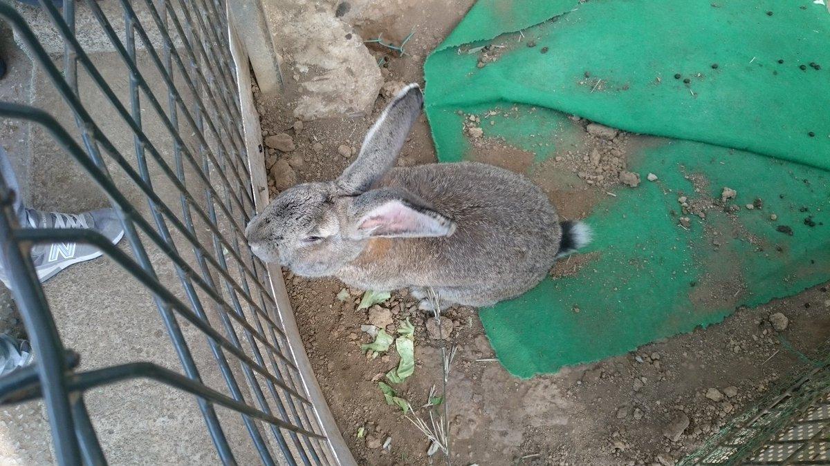 町田リス園に居たウサギだけど大きさ分かって貰えるだろうか…… https://t.co/wbaWlD1Nz8
