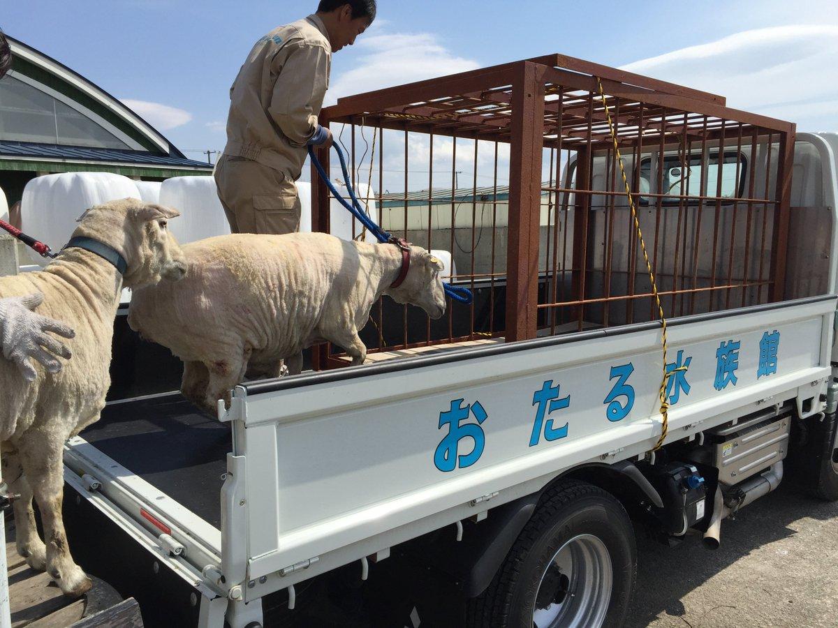 今年もえこりん村の羊が、おたる水族館の臨時職員として重要な任務を帯びてきょう旅立ちました。 重要な任務とは、水族館敷地内の草刈り作業です。 昨年も「いい仕事をする」と評判でした。 https://t.co/hPK3DVOYBQ