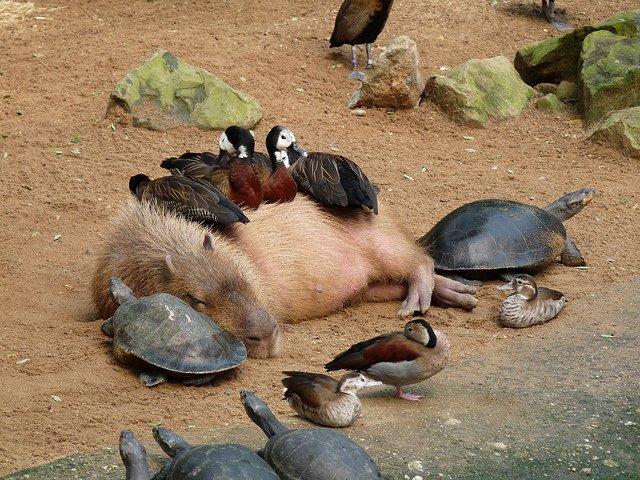 Did you know there's an entire Tumblr dedicated to animals sitting on top of capybaras? https://t.co/5R1FhgWyEP https://t.co/1dqg5FaKpP