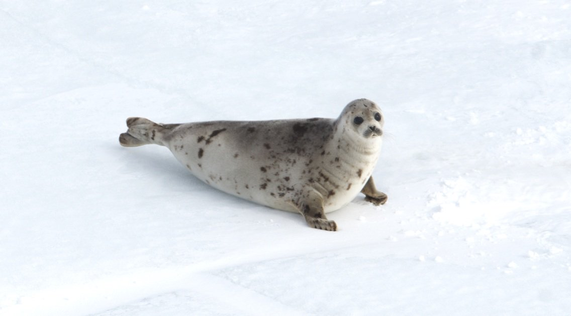RT @RebeccaAldworth: More than 42,000 baby seals killed in the commercial #sealhunt as of #EarthDay. We have to stop this! https://t.co/0VB…