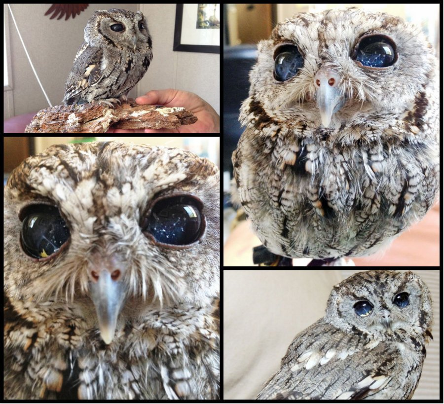 Meet Zeus: The Rescued Blind Owl With Stars In His Eyes https://t.co/hmCBBKZ3TA