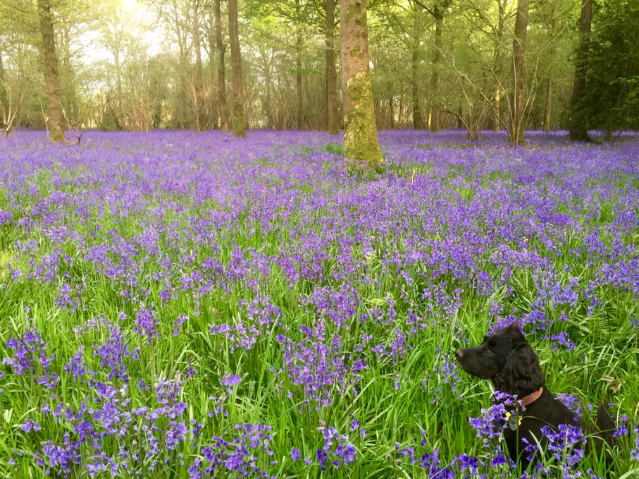 Bluebells + bigger dog! @DorsetWildlife #adogmakesadifference https://t.co/UQfC7AadyP