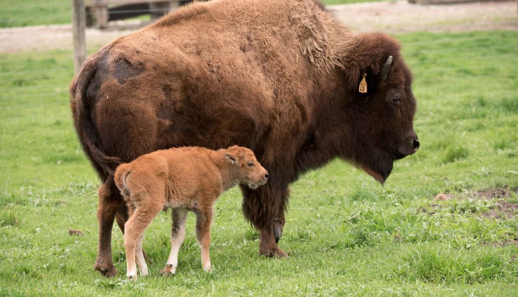 What would you call our new baby bison? Tweet us with #BisonNaming. Please, no Bison McBisonface. https://t.co/EkIWTXIc7F