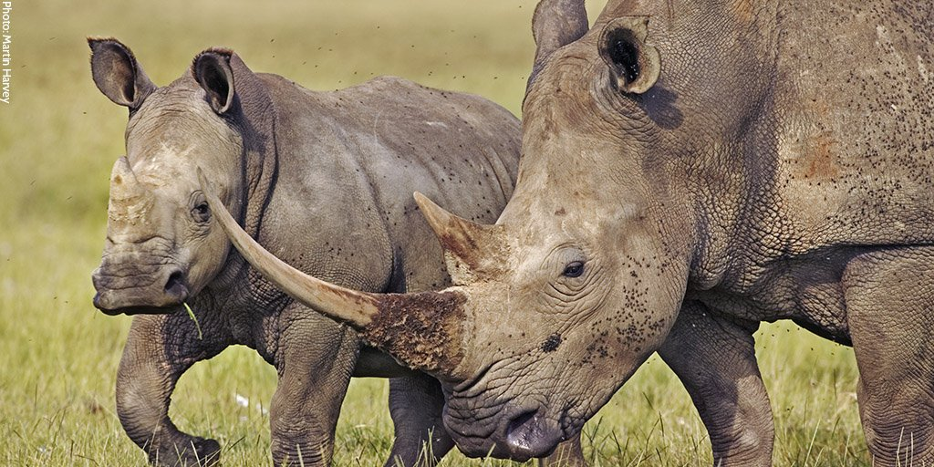 """South Africa nixing pursuit of legal rhino horn trade """"absolute right decision"""" for rhinos: https://t.co/vp7wB7sQ2I https://t.co/zAQtkG54DO"""