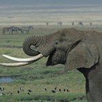 Poaching is down 80% for elephants and 85% for rhinos. #MakeItKenya @JulieGichuru @BrandKenya @KBCChannel1 https://t.co/n4xEUebJ2Q