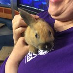 """Mopsy"" is an 8-wk old bunny who needs a home, preferably one with lots of carrots! @CASPCA #PetProject https://t.co/s8mwwuFM8Z"
