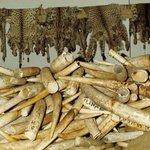 Kenya ready to burn largest ever ivory stockpile https://t.co/lx3gtMKV2C https://t.co/DVePIvAaZb
