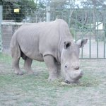 Sudan (43yrs), the only Male Northern White Rhino in the entire world @OlPejeta #SpaceForGiants #WorthMoreAlive https://t.co/8yZdpMZEDL