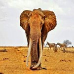 POACHING in 1981-1989 wiped out 1/2 African #elephant population from 1.2+ million ????????????to 600,000+ #worthmorealive ???? https://t.co/nTx1mVGdyT