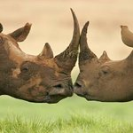 3 of the 5 rhinoceros species are listed as being critically endangered.Their protection is dire. #WorthMoreAlive https://t.co/JeLk44Mutm