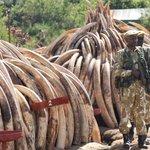 Countdown to Saturdays historic burn - Kenya destroys over 100 tonnes of poached ivory #worthmorealive @kwskenya https://t.co/AC2wvRu7t9
