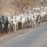 OPINION BY REUBEN ABATI: Cattle herdsmen as the new Boko Haram?   TheCable https://t.co/4iQPU1lqsv https://t.co/WK6zneYvWg