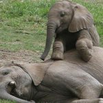 #WorthMoreAlive #BattleForTheJumbos Human instincts!! Baby Elephant mourns over her mothers corpse @KBCChannel1 https://t.co/mIPe3E6jfR