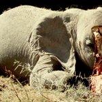 "#BattleForTheJumbos Dr. Richard Leakey ""Lets kill trade in ivory and save elephants."" #WorthMoreAlive @KBCChannel1 https://t.co/1Edt7Zv8iZ"