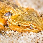 Lizards might snooze like humans do: https://t.co/i8RNw9XSHF https://t.co/9D9jYaog4s