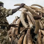 Up in smoke: Kenya to torch millions of dollars worth of ivory https://t.co/XWWaTq2wm2 https://t.co/vw07T5unJv