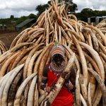 An estimated 105 tonnes of confiscated ivory to be set ablaze, at Nairobi National Park near Nairobi, #Kenya https://t.co/hXOWYXLBUi