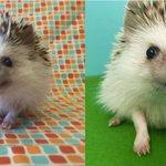 mashable: Huff the Hedgehog slays with his vampire teeth https://t.co/LzA2xn2u90 https://t.co/FmPqooBuup