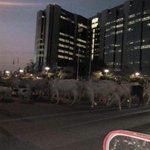 Photos Of Fulani Herdmen And Their Cattle Roaming In Front Of CBN In Abuja https://t.co/GqoGw85U2E https://t.co/fDMedZLjXi