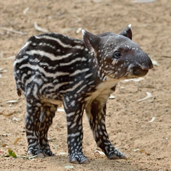Baby Tapirs have some of the best patterns https://t.co/EDP1pPCd7y