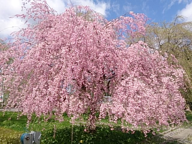 角館、安藤醤油屋の垂れ桜だす。満開! https://t.co/aMkCxfdSnj